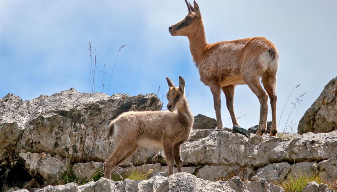 Maman Isard et son petit au Pic du Midi d'Ossau